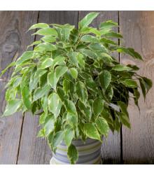 Figovník drobnolistý - Ficus benjamina - bonsaj - fikus - semená - 4 ks