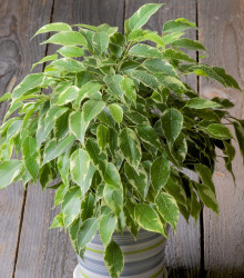 Figovník drobnolistý - Ficus benjamina - bonsaj - fikus - semená fikusa - 4 ks