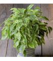 Figovník drobnolistý Benjamín - Ficus benjamina - semená - bonsaj - 4 ks