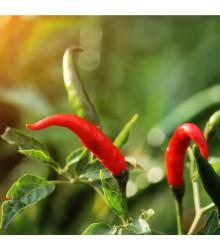 Chilli Thai Hot - extra štipľavé- semená chilli - semiačka - 6 ks