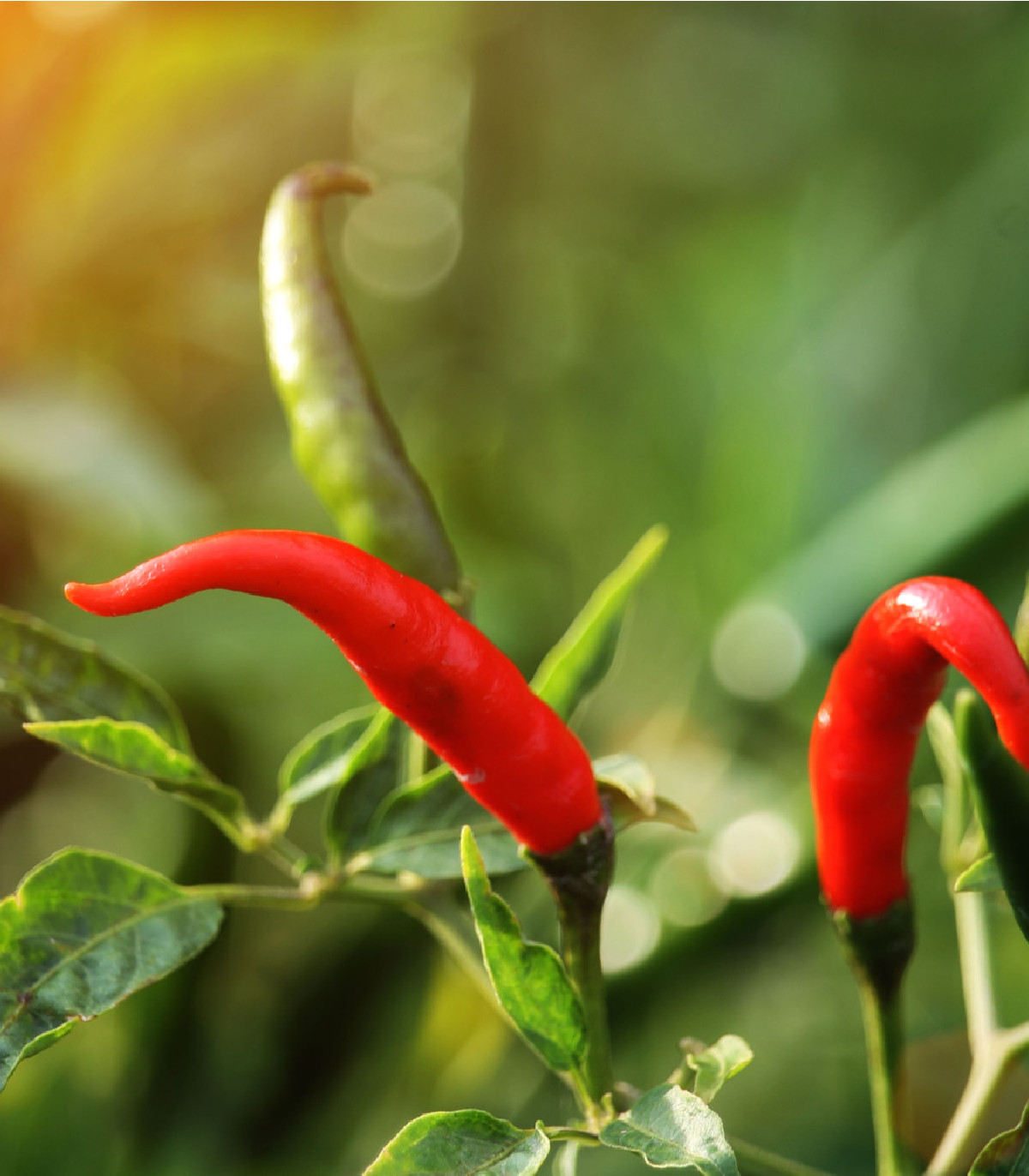 Chilli Thai Hot - extra  štiplavé- semená Chilli papriček - 6 ks