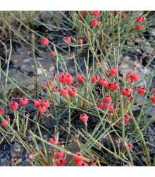 Chvojník nevadský - Ephedra nevadensis - semená - semiačka - 8 ks