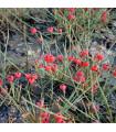 Chvojník nevadský - Ephedra nevadensis - semená - 8 ks
