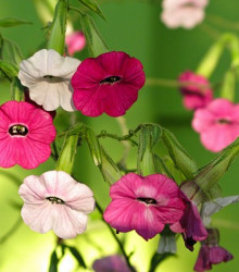 Tabak Mutabilis Marshmallow - semená tabaku - semiačka - 200 ks