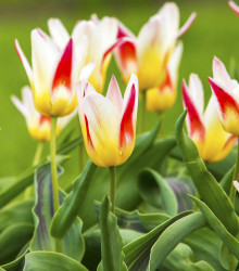 Tulipán Johann Strauss - Tulipa - cibuľoviny - 3 ks