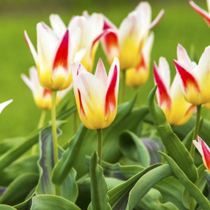 Tulipán Johann Strauss - holandské tulipány - 3 ks