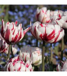 Tulipán Carnaval de Rio - cibule tulipánu - 3 ks