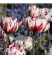 Tulipán - Carnaval de Nice - cibule tulipánů - prodej cibulovin - 4 ks