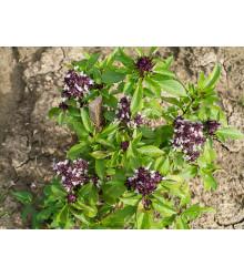 Bazalka thajská - Ocimum basilicum thai - semená bazalky - 50 ks