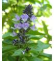 Bazalka škoricová - semená byliniek - Ocimum basilicum - 50 ks