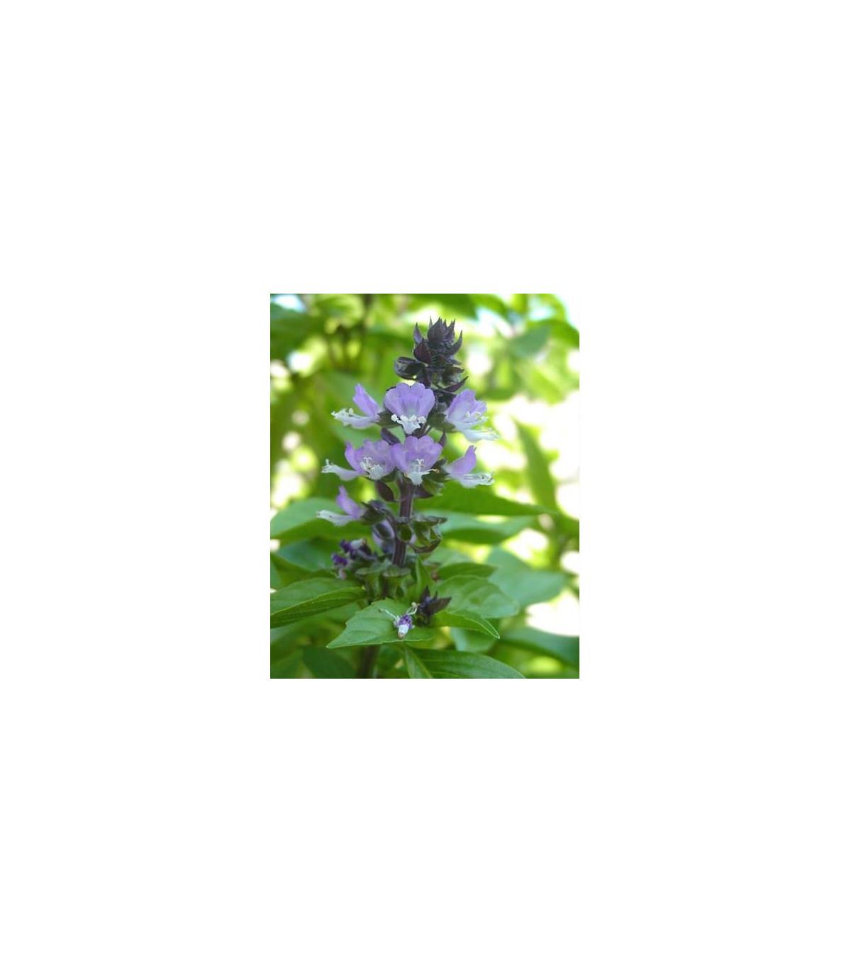 Bazalka škoricová - Ocimum basilicum - semená bazalky - 50 ks