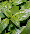 Bazalka Fino verde - bazalka do omáčok - semená - 50 ks