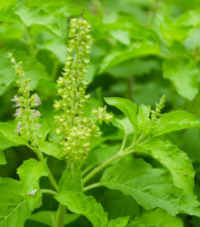 Bazalka indická Tulsi - Ocimum tenuiflorum - semená bazalky - 50 ks