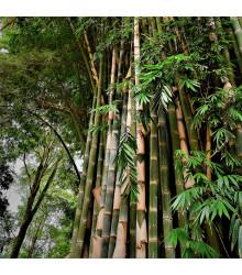 Bambus najvyšší - Dendrocalamus giganteus - semená - 2 ks
