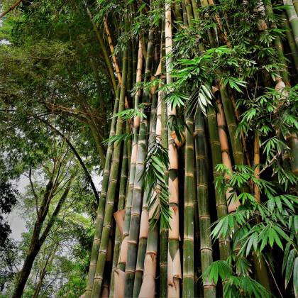 Bambus najvyšší - Dendrocalamus giganteus - semená bambusu - 2 ks
