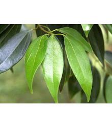 Gáfrovník lekársky - Škoricovník Gáfrovník - Cinnamomum camphora - semená škoricovníka - semiačka - 6 ks