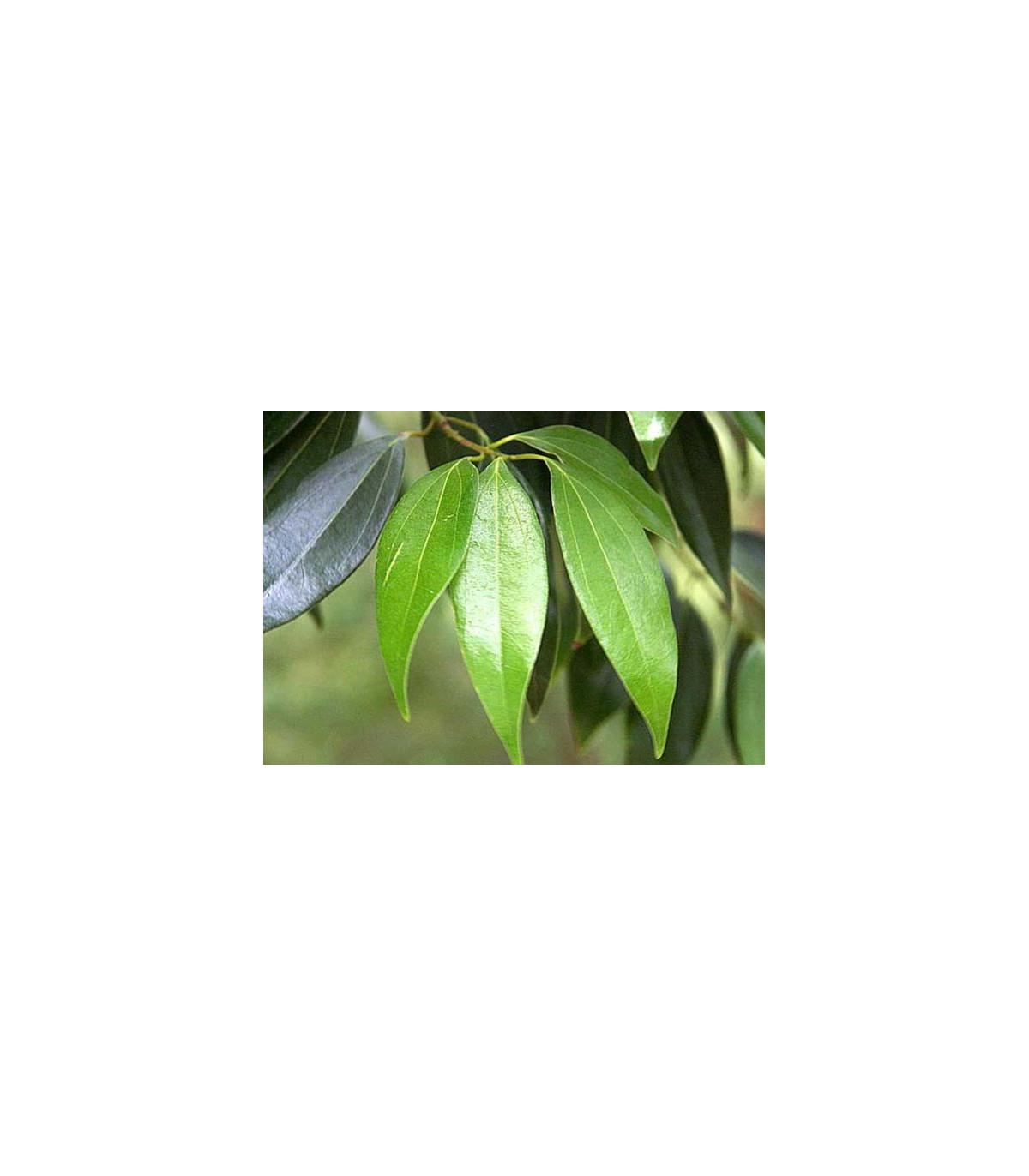 Gáfrovník lekársky - Cinnamomum camphora - semená - 6 ks