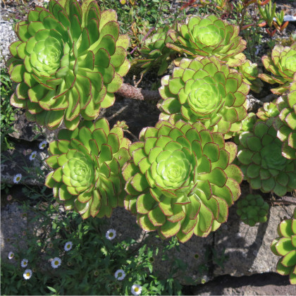 Ružicovica - Aeonium ciliatum - semená - 10 ks