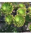 Aeonium ciliatum - Ružicovica- predaj semienok - 10 ks
