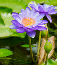 Lekno fialové - Nymphaea caerulea - semená - 6 ks