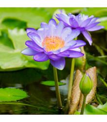Lekno fialové - Nymphaea caerulea - semená lekna - semiačka - 6 ks