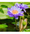 Lekno modré - Nymphaea caerulea - semená lekna - 6 ks