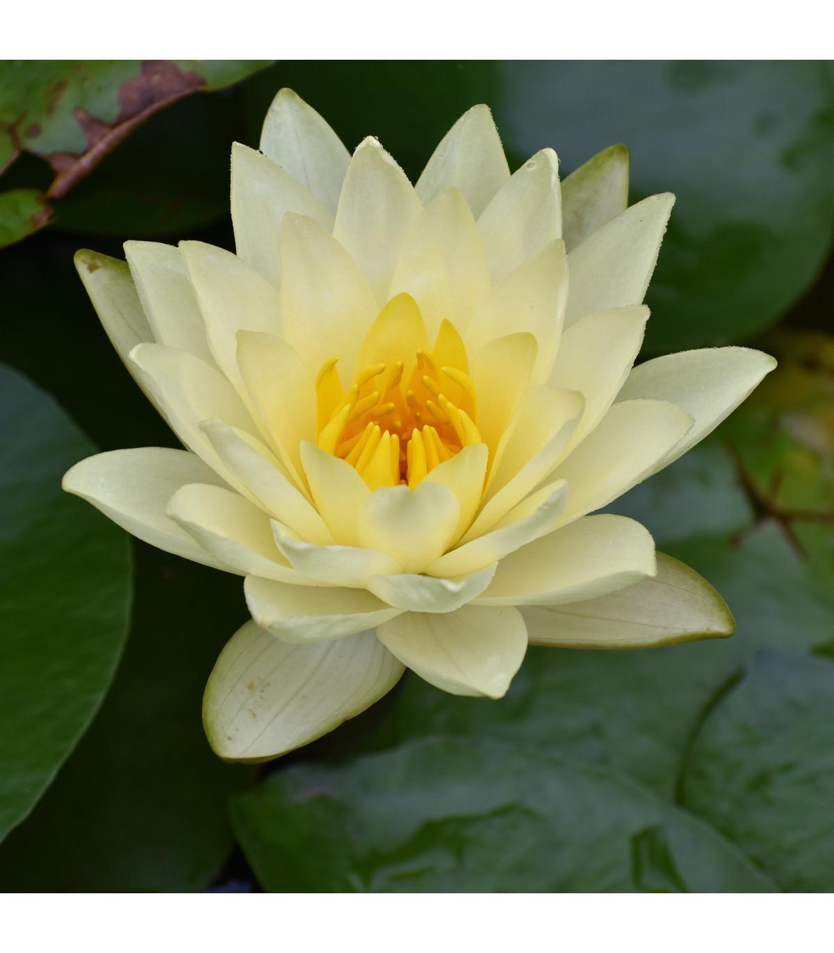 Lekno biele - Nymphaea ampla - semená - 6 ks