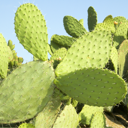 Opuncie - Indiánske figy - Opuntia compressa - semená - 7 ks