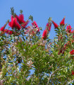 Štetkovec - Callistemon citrinus - predaj semien - 10 ks