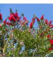 Tyčinkovec kopijovitolistý - Callistemon citrinus - semená - 10 ks