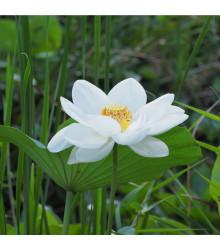 Lotos indický - Nelumbo nucifera - semená - 2 ks