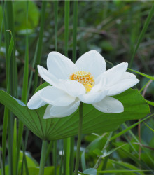 Lotos indický - Nelumbo nucifera - semená Lotosa - semiačka - 2 ks