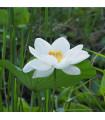 Lotus indický - Nelumbo nucifera - semená - 2 ks