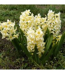 Hyacint City of Haarlem - Hyacinthus orientalis - cibuľoviny - 1 ks