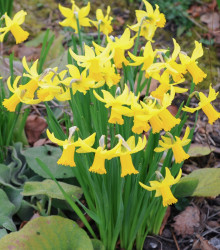 Narcis February Gold - Narcissus - cibuľoviny - 3 ks