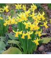 Narcis February gold - predaj cibuľovín - 3 ks
