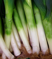 Pór zimný - Allium porrum - D´Elbeuf - semená póru - semiačka - 200 ks