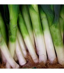 Pór zimný D´Elbeuf - Allium porrum - semená - 200 ks