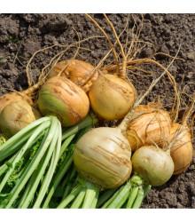 Kvaka Dalibor - Brassica napus var. napobrassica - semená kvaky - 250 ks