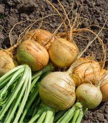 Kvaka Dalibor - Brassica napus var. napobrassica - semená kvaky - semiačka - 250 ks