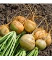 Kvaka Dalibor - Brassica napus var. napobrassica - osivo kvaka - 300 ks