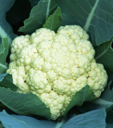 Karfiol neskorý Romanesco - Brassica oleracea botrytis - semená karfiolu - semiačka - 20 ks