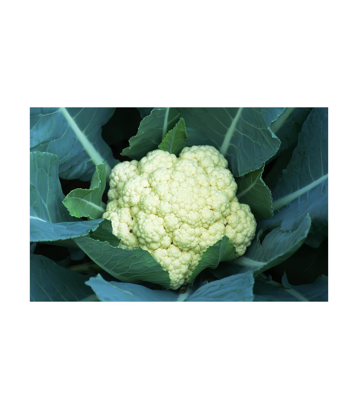 Karfiol neskorý Romanesco - Brassica oleracea botrytis - semená karfiolu - 20 ks