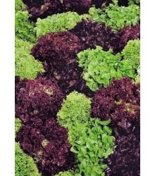 Šalát kučeravý - Fitness mix - Lactuca sativa - semená šalátu -semiačka - 100 ks