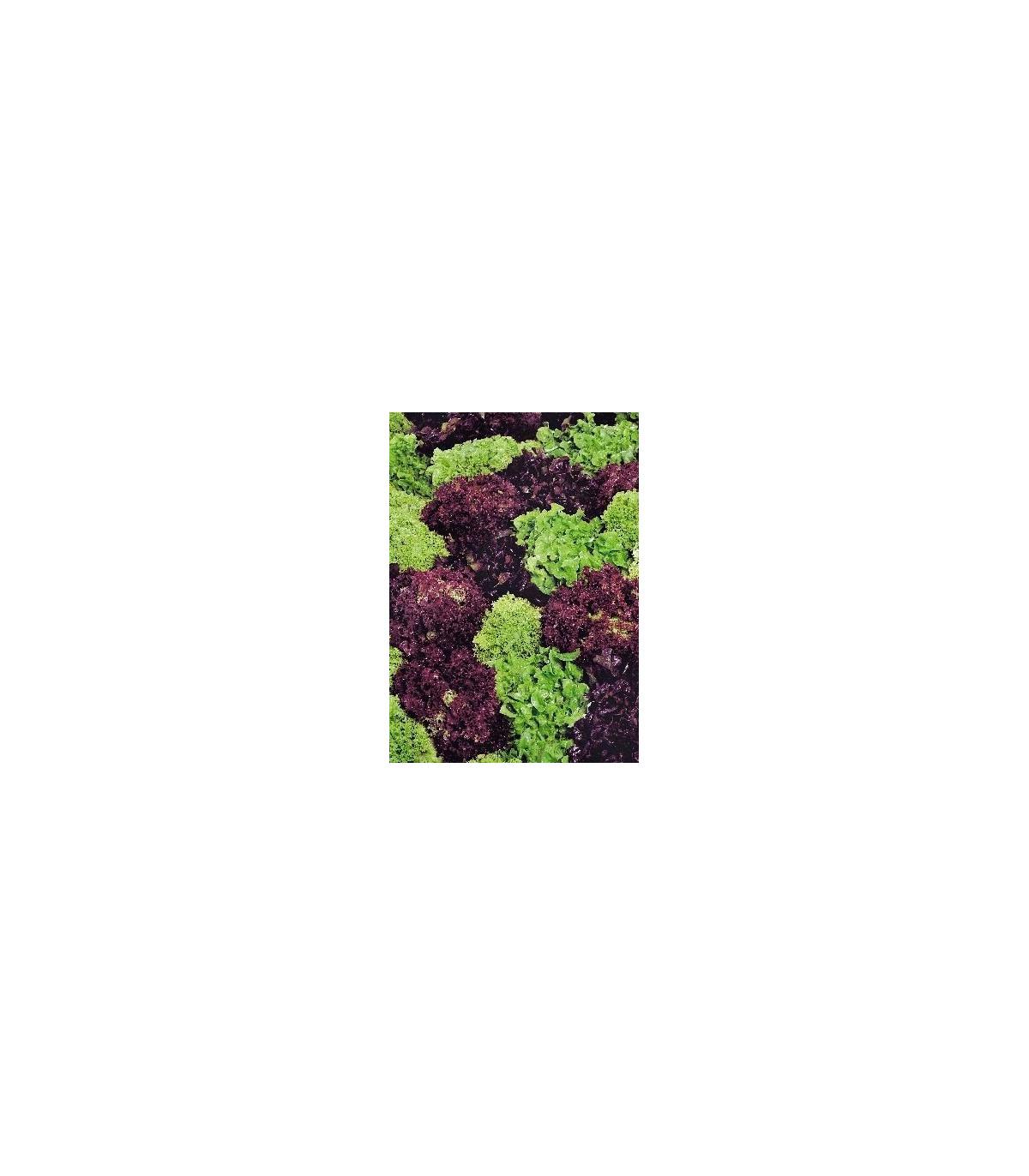 Šalát kučeravý - Fitness mix - Lactuca sativa - 100 ks