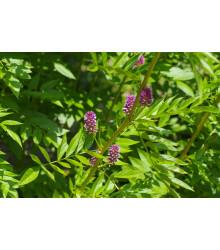 Sladovka hladkoplodá - sladké drievko - Glycyrrhiza glabra - semená - 4 ks