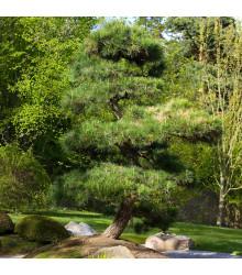 Borovica japonská čierna - Pinus thunbergii - bonsaj - semená - 5 ks