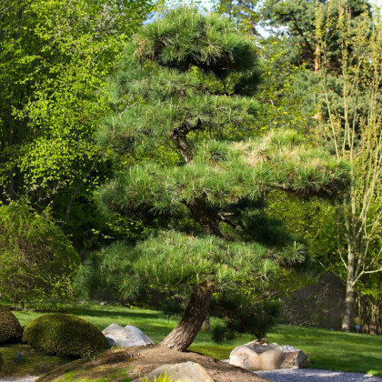 Borovica japonská čierna - Pinus thunbergii - semená borovice - 5 ks