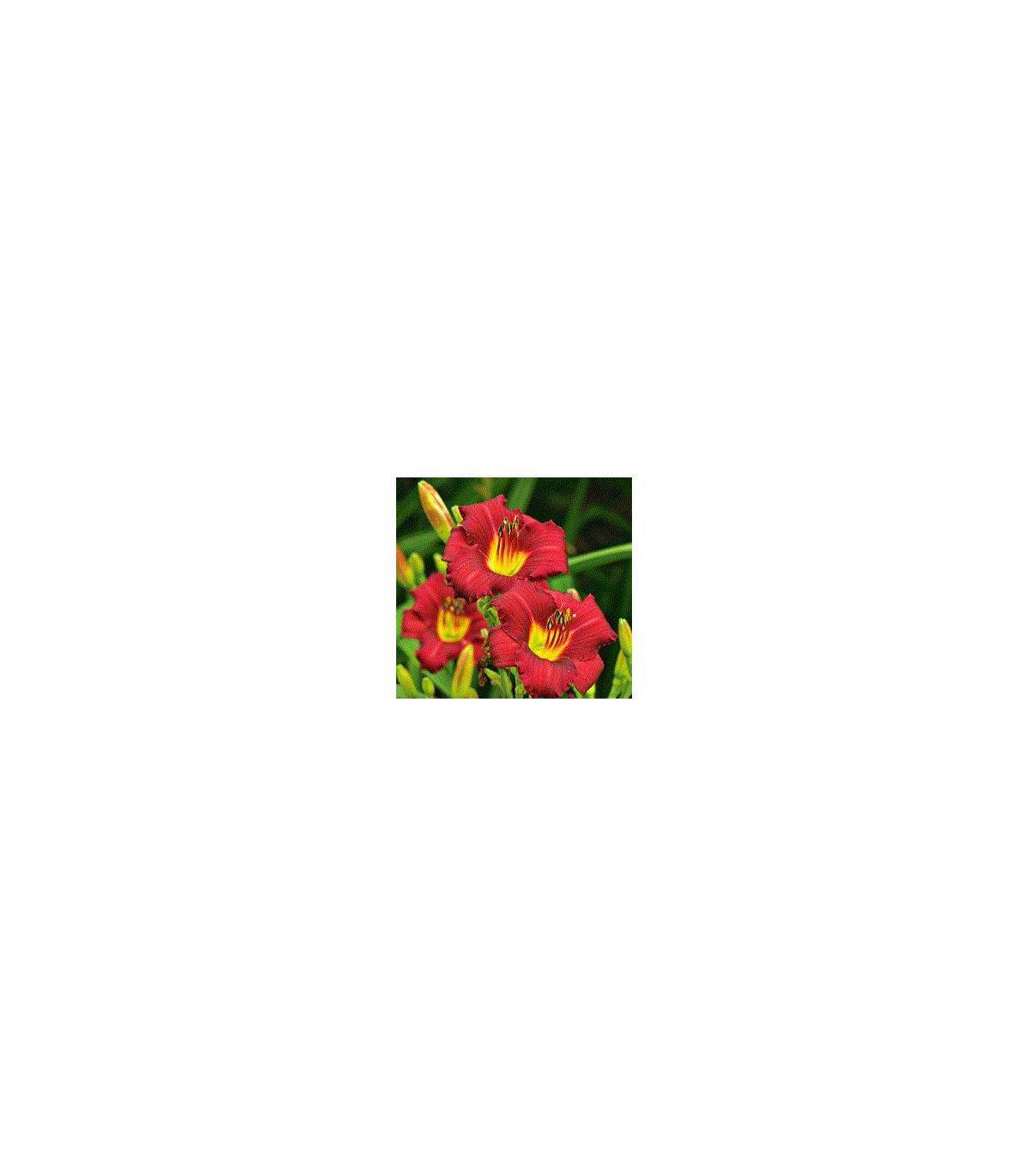 Denivka - Hemerocallis - hľúzovité korene ľaliovky - 1 ks