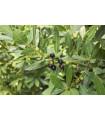 Vavrín vznešený - Bobkový list - predaj semien - 5 ks